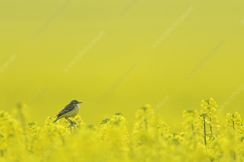Yellow wagtail adult female perched in oilseed rape crop