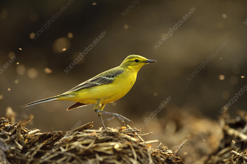 Yellow wagtail adult male in spring plumage feeding on dung