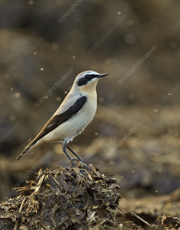 Northern wheatear adult male in spring plumage