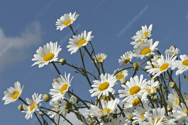 Ox-eye daisies (Leucanthemum vulgare)