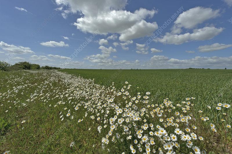 Herb rich conservation margin around farmland