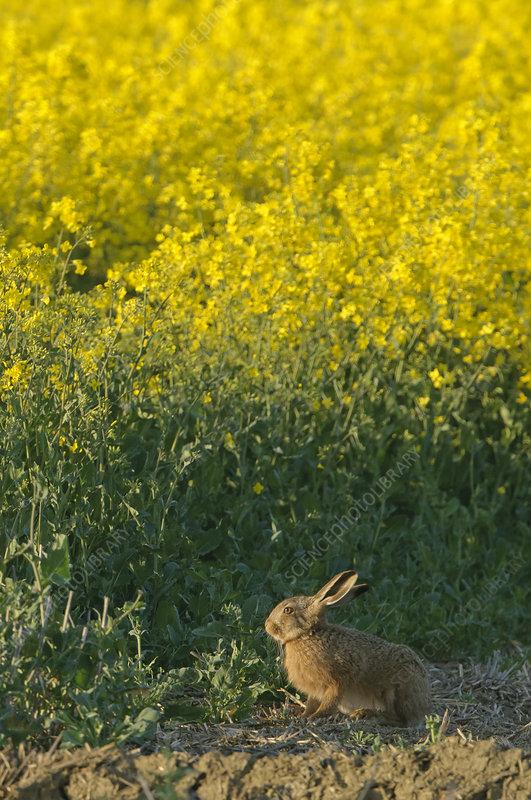 Brown hare by oilseed rape crop