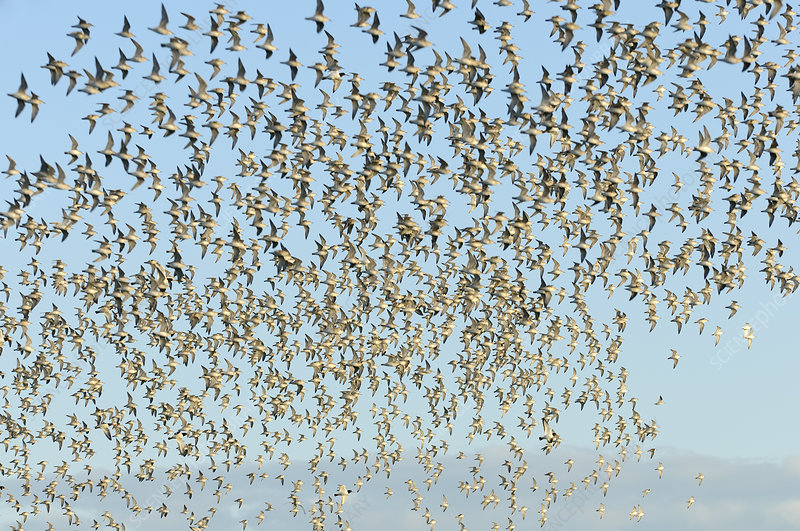 Flock of Red knot in flight at high water