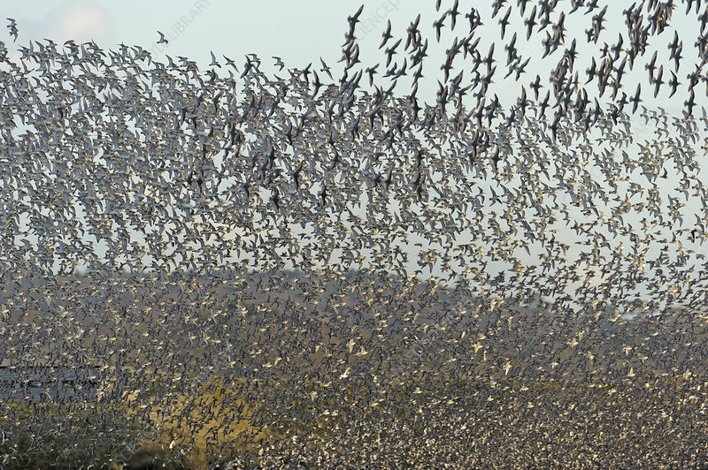 Flock of Red knot and Bar-tailed godwit in flight