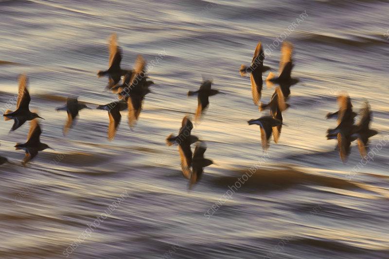Flock of Dunlin in flight at sunset