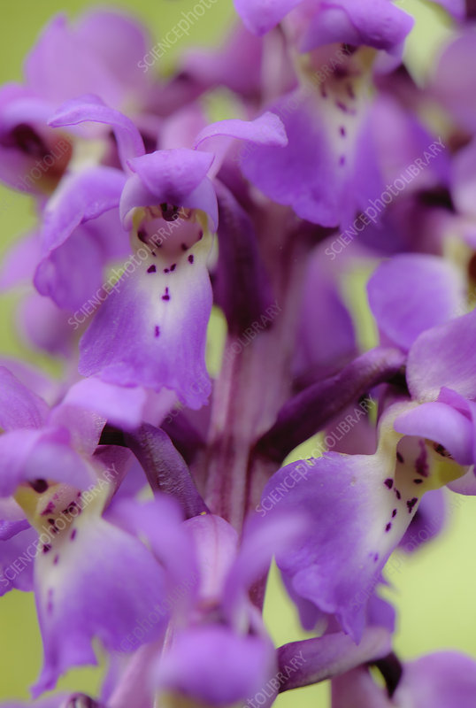 Close-up of Early purple orchid (Orchis mascula) in flower