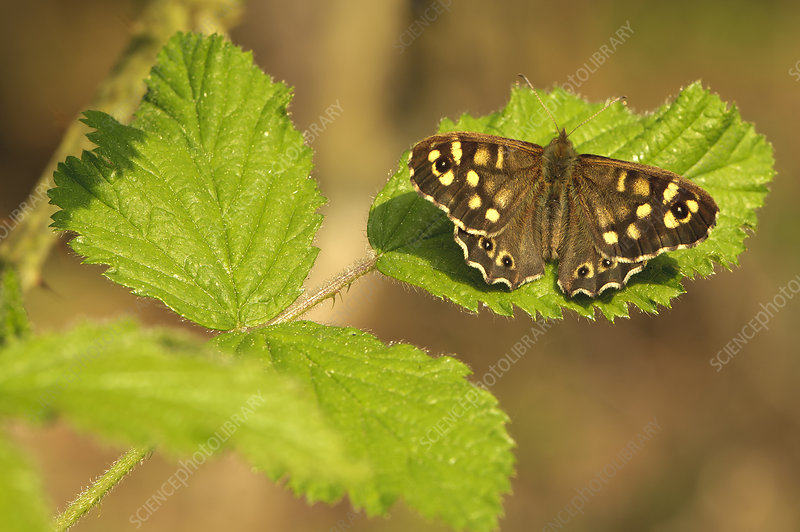 Speckled wood butterfly on Bramble leaves