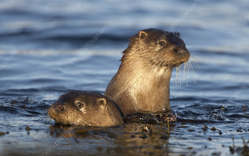 Two European river otters swimming in shallow water
