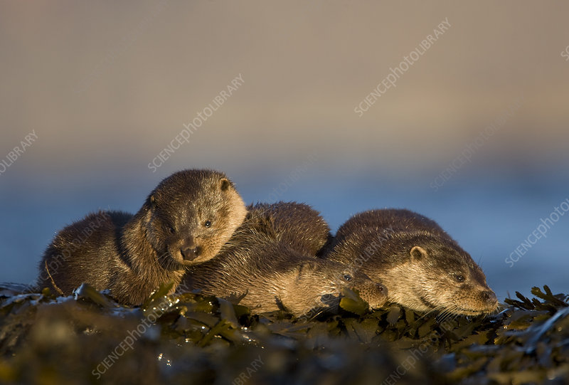 Three European river otters resting amongst seaweed