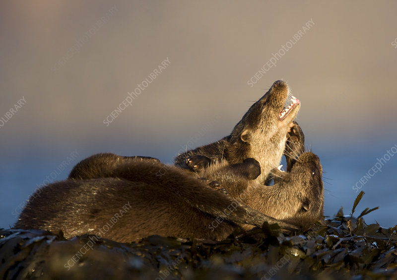European river otters play fighting amongst seaweed