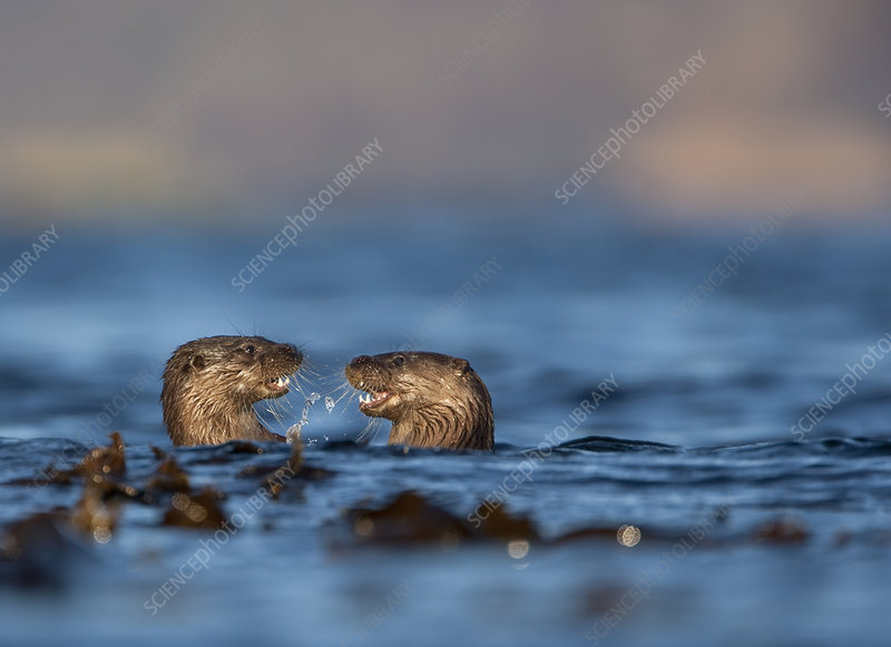 Two European river otters play fighting in the water