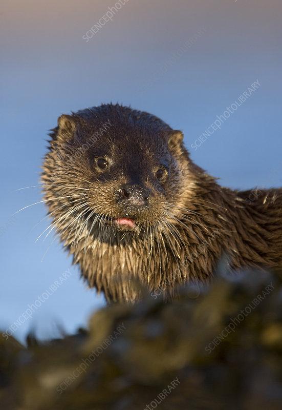 European river otter resting amongst the seaweed