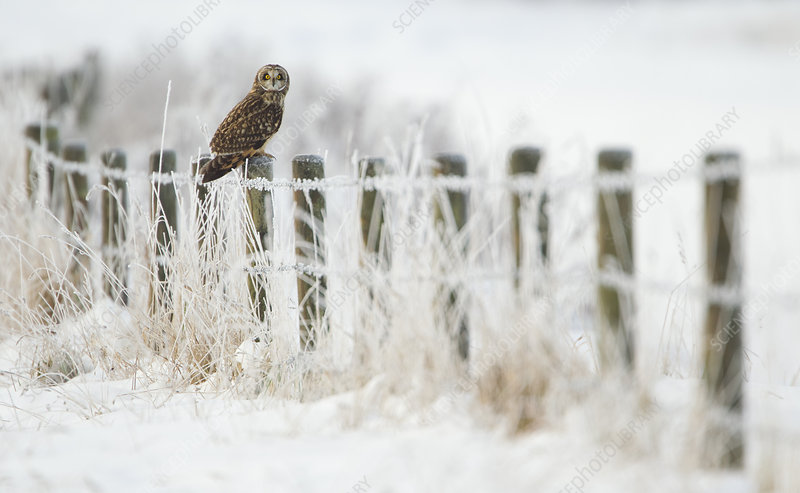 Short-eared owl perched on a fence post