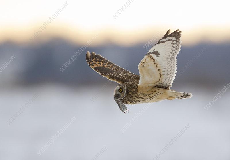 Short-eared owl flying with dead vole held in its beak