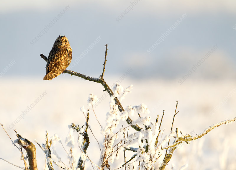 Short-eared owl perched on a branch