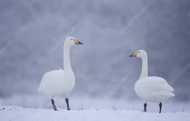 Whooper Swans on snow