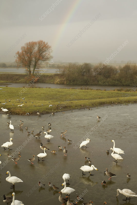 Whooper Swans, ducks and wigeon feeding in estuary