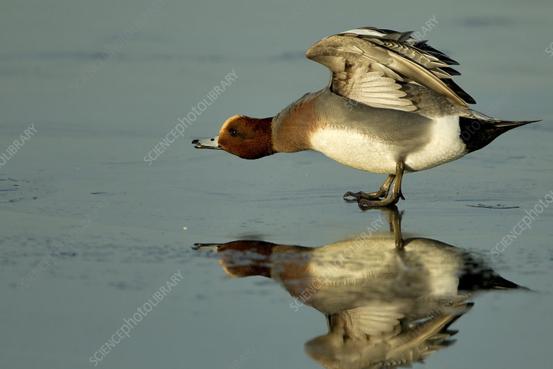 Wigeon on estuary mud stretching wings