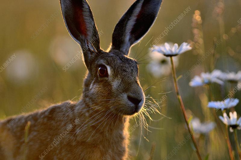 European hare with Ox-eye daisies