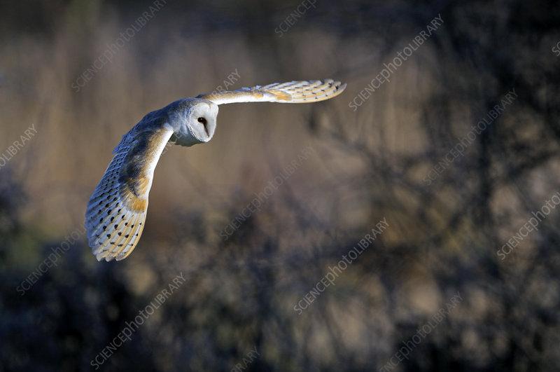 Barn owl in flight, Norfolk, England, UK, February