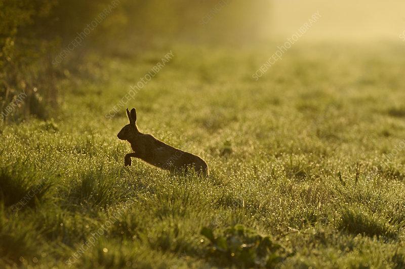 European hare running across game cover