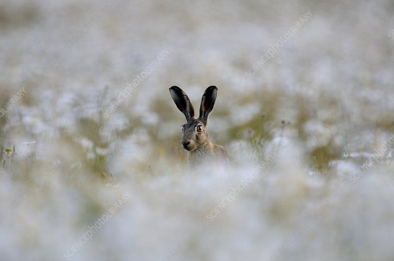 European hare in field of Ox-eye daisies