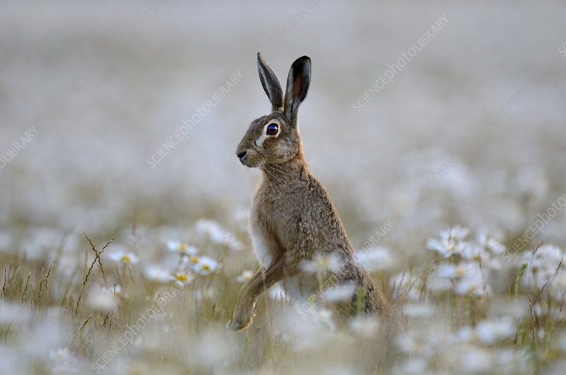European hare standing up in field of Ox-eye daisies