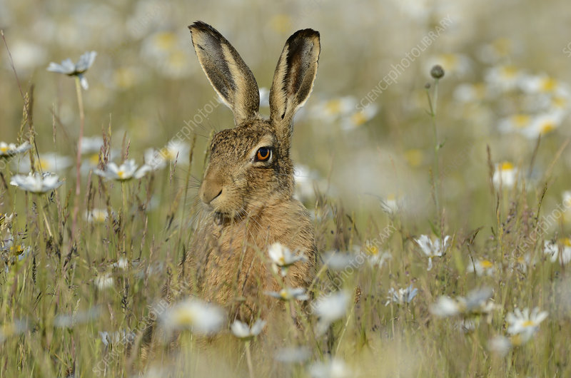 European hare in field of Ox-eye daisies