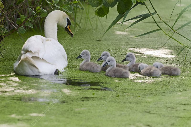 Mute swan adult with cygnets on water