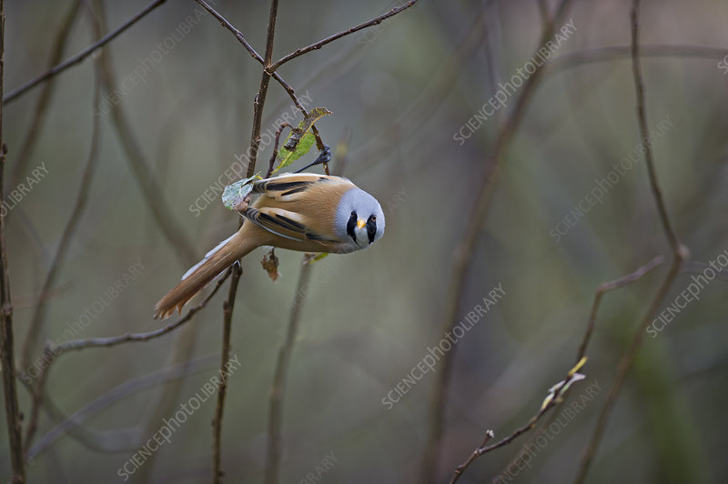Bearded reedling male perched on twig