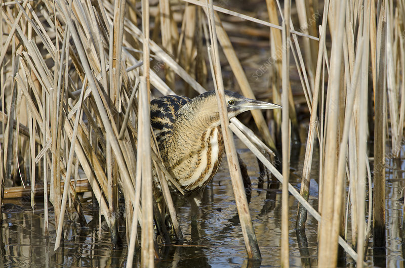 Bittern camouflaged amongst reeds in winter