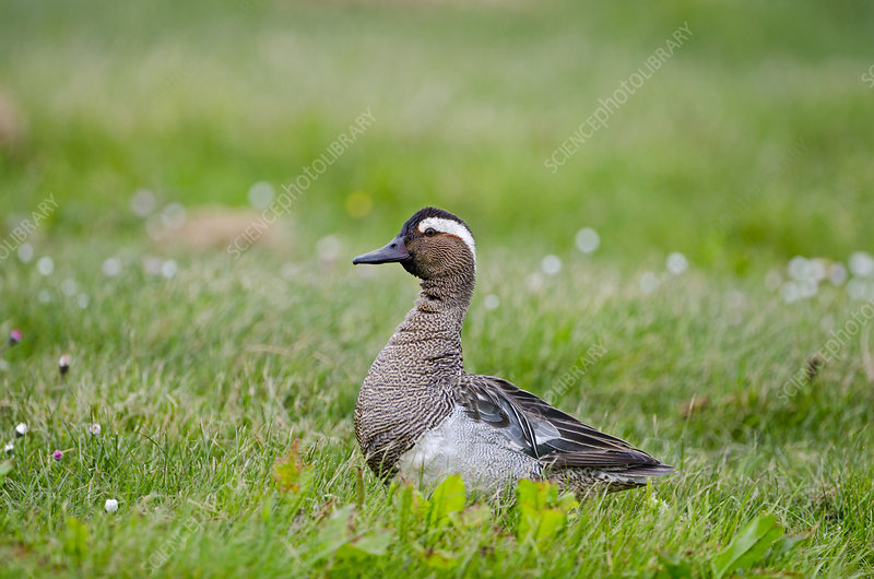 Garganey duck drake calling, Cley, Norfolk, UK, May