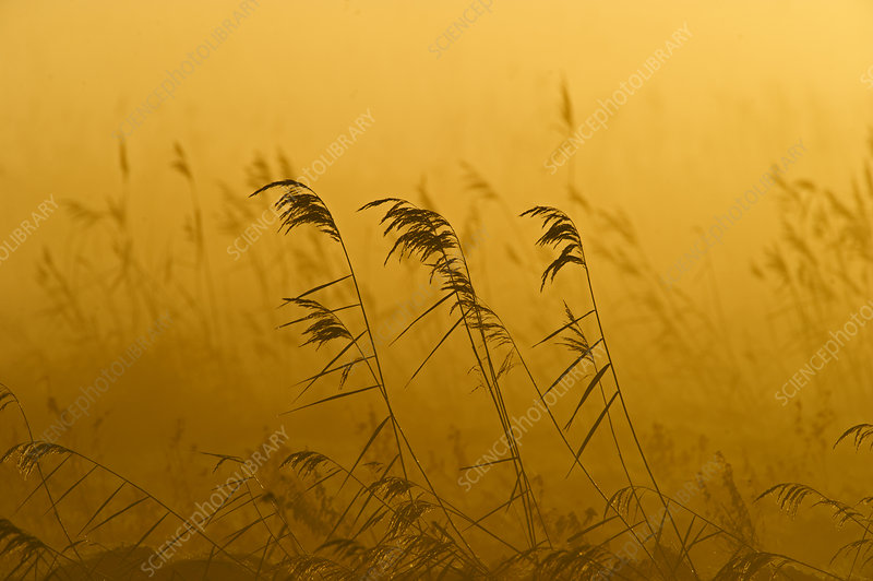 Phragmites reeds (Phragmites australis) at dawn