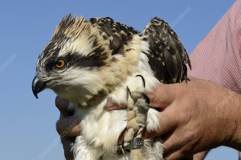 Soon to fledge Osprey chick after being ringed