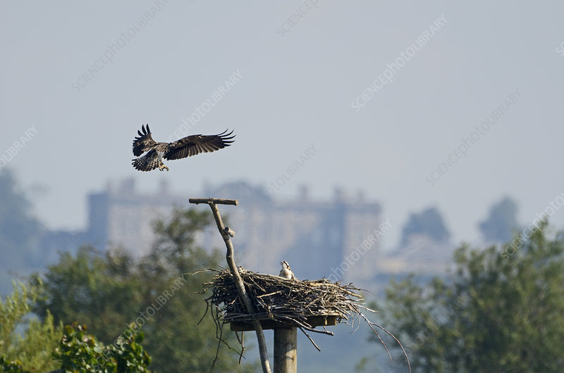 Osprey adult landing at nest with chick