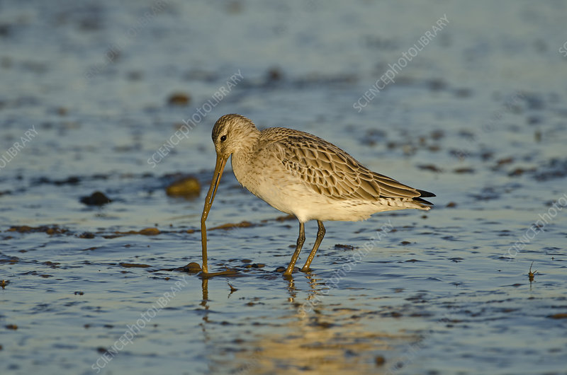 Bar-tailed Godwit foraging for tidal-flat worm