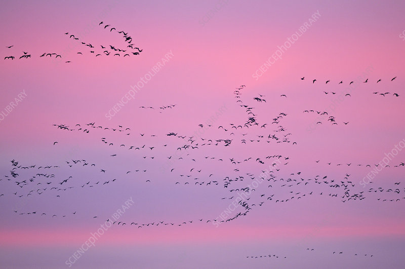 Pink-footed Geese in flight at dusk