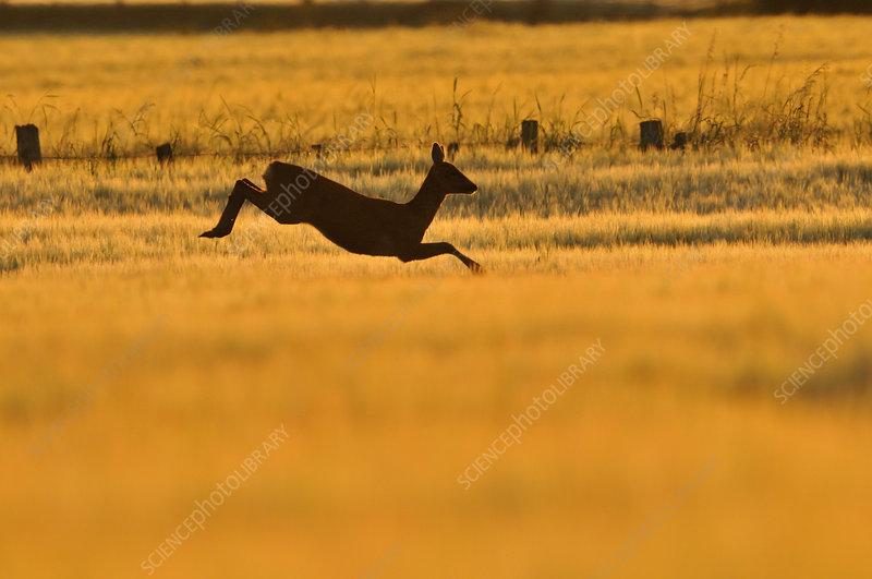 Roe Deer doe leaping through barley field in dawn light