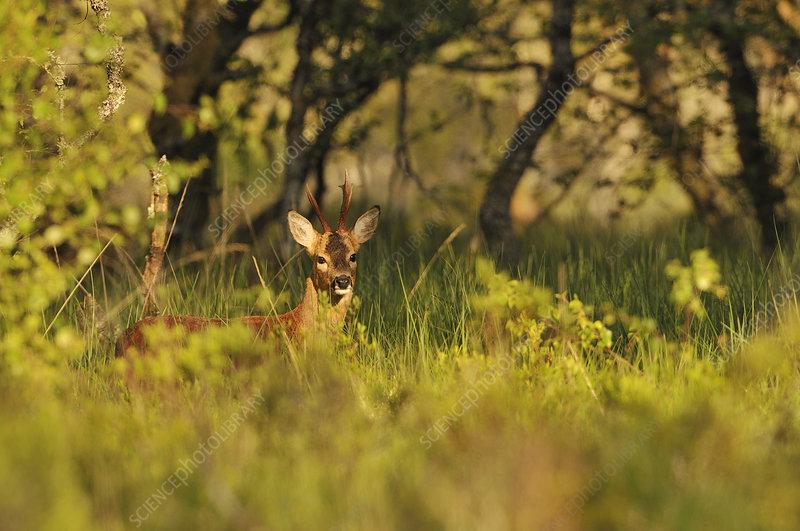 Roe Deer buck in a woodland field