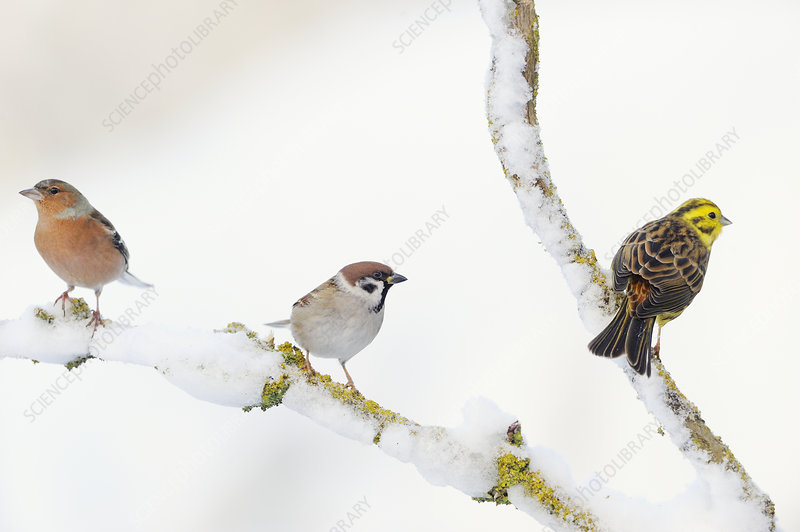 Tree Sparrow, male Chaffinch and a male Yellowhammer
