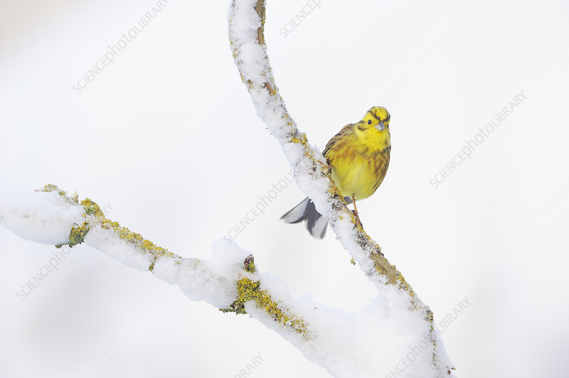 Yellowhammer perched on snowy branch