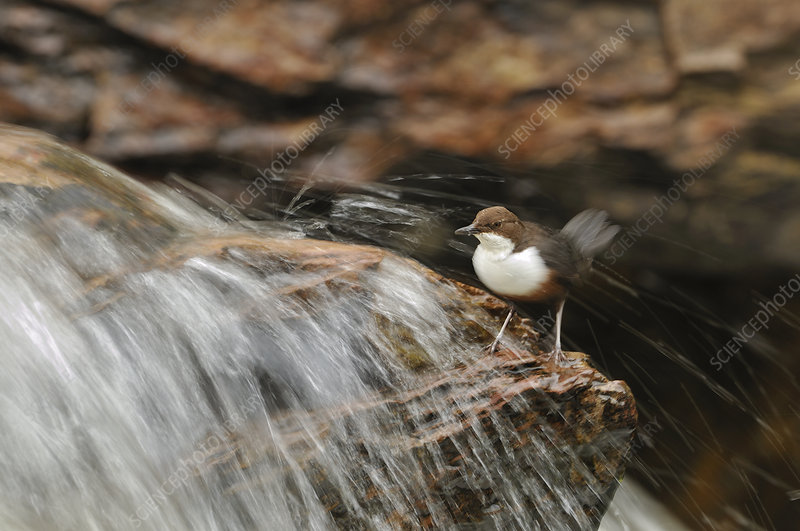 Dipper on rock in stream, Perthshire, Scotland, May