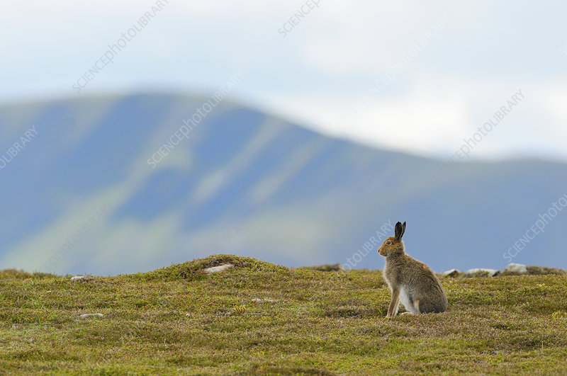 Mountain Hare against mountains
