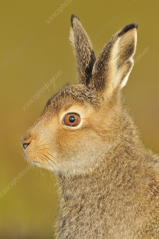 Mountain Hare in alert pose