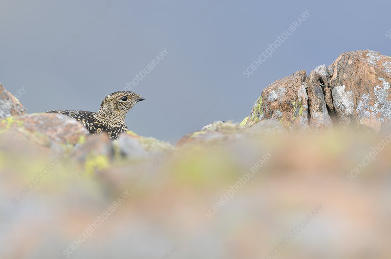 Ptarmigan hen in summer plumage behind rocks