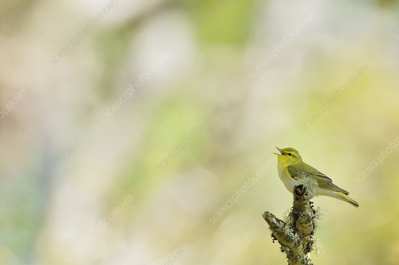 Wood warbler singing from a lichen covered branch