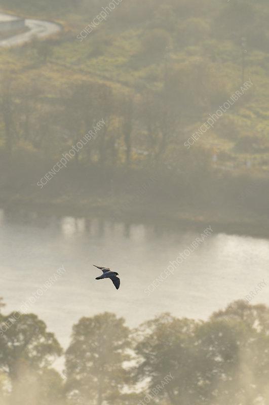 Peregrine Falcon in flight over the River Tay, Scotland, UK