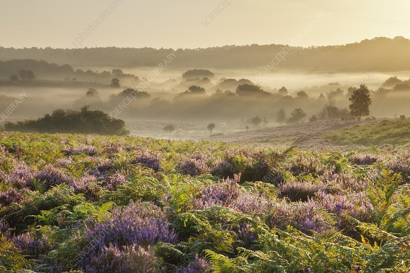 New Forest heathland with Ling (Calluna vulgaris)