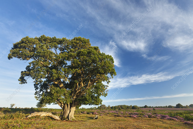 New Forest heathland with Oak (Quercus robur) tree