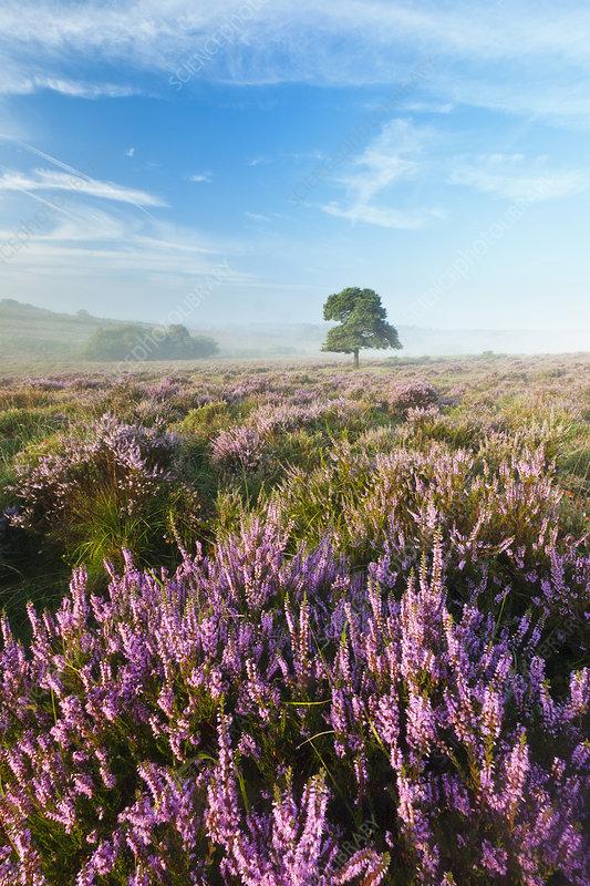 New Forest heathland with Ling (Calluna vulgaris)